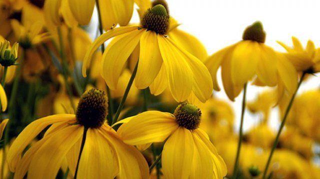 Рудбекия глянцевитая украшает сад солнечными цветками в сентябре-октябре
