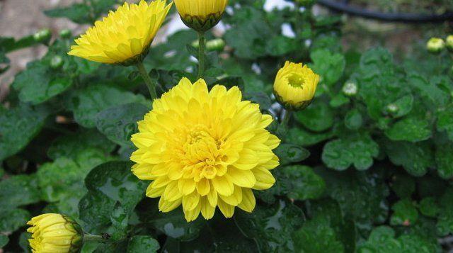 Хризантема индийская цветет с августа по октябрь