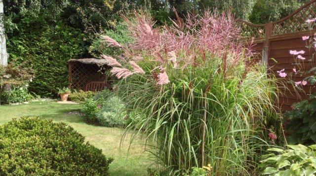 Мискантус – злак для сада в стиле Прованс