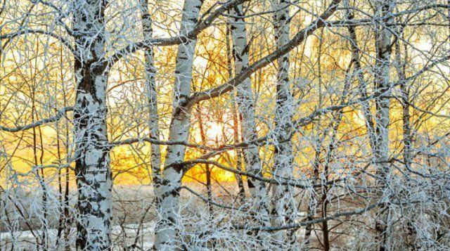 11 деревьев и кустарников с красивой корой, которые украсят зимний сад, В цветнике ()