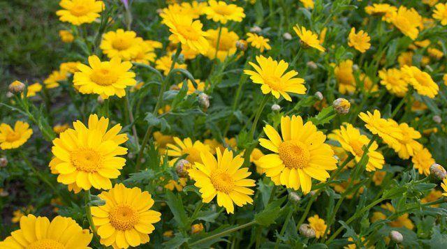 Златоцвет посевной