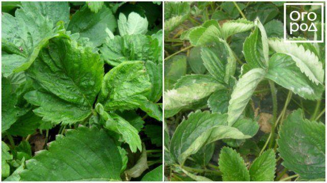 Морщинистость листьев клубники