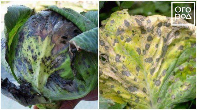 Болезни рассады цветной капусты 36