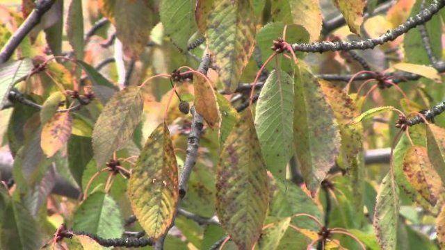 Парша вишни