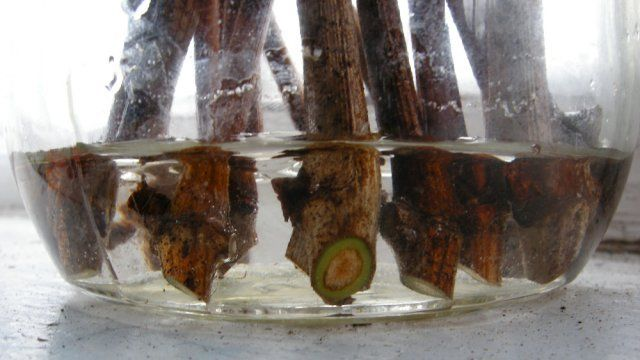 Тестирование черенков в воде