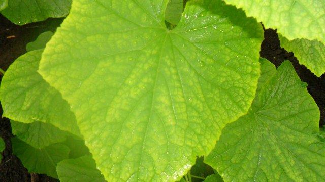 Чем подкормить огурцы, если желтеют листья
