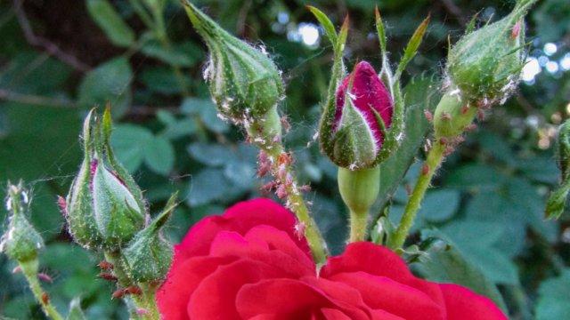 насекомые-вредители на розах
