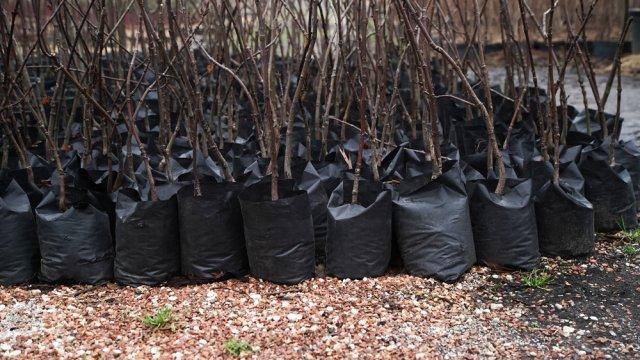 саженцы деревьев покупать
