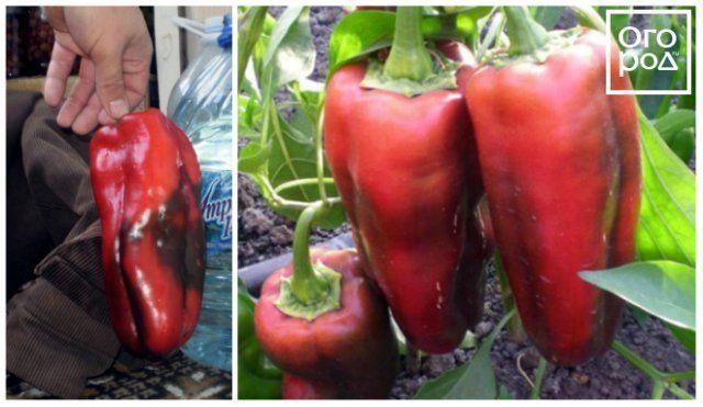 Сорт перца Красный гигант