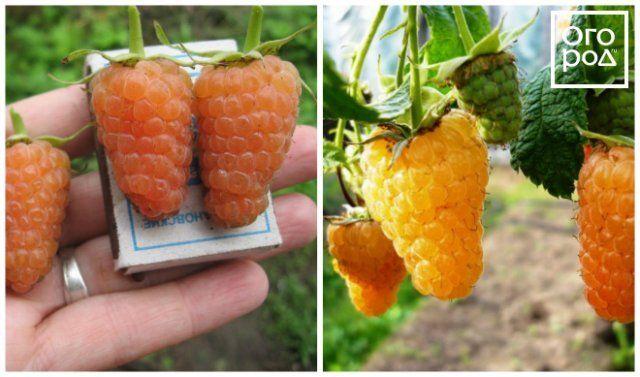 Желтая малина Оранжевое чудо