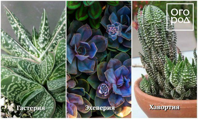 суккулентные комнатные растения