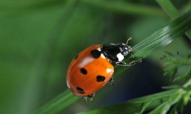 божья коровка польза и вред жука