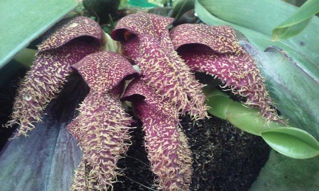 Бульбофиллум фаленопсис