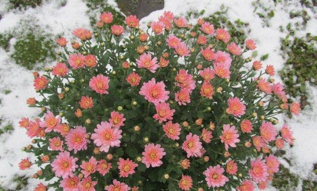 хризантемы в снегу