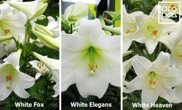 Длинноцветковые гибриды
