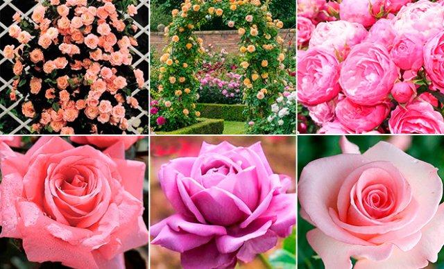 клумба из роз в пастельных тонах