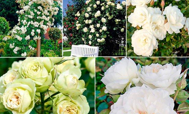 клумба из белых роз