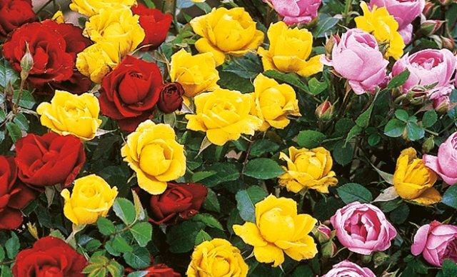 яркая клумба из роз