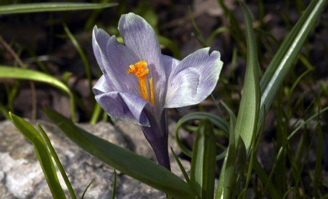 крокус цветет в саду, первоцвет