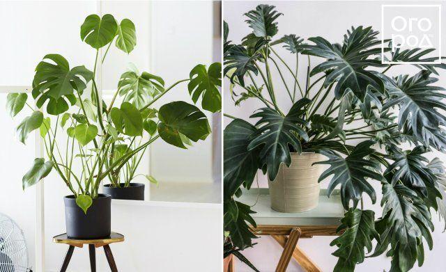 Филодендрон, цветок, комнатное растение