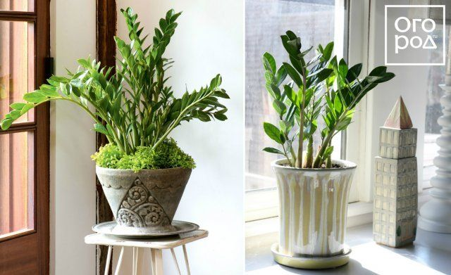 Замиокулькас, цветок, комнатное растение
