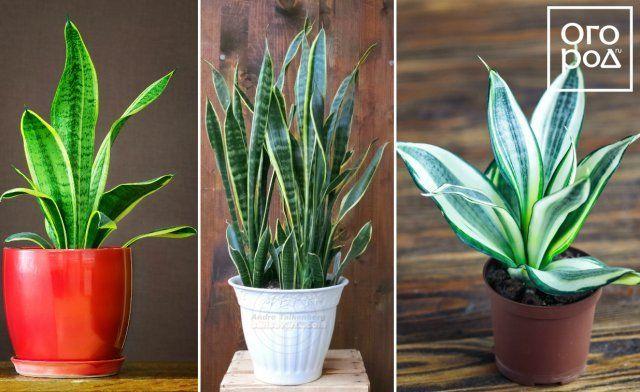 Сансевиерия, цветок, комнатное растение