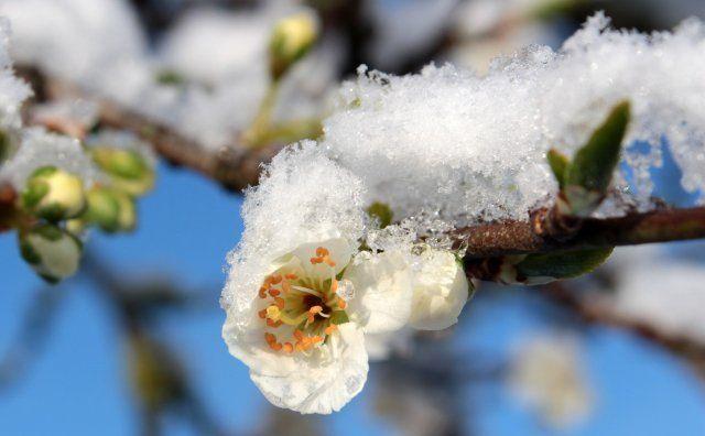 Цветки сливы под снегом
