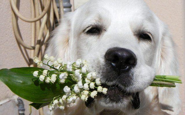 Собака с ландышами