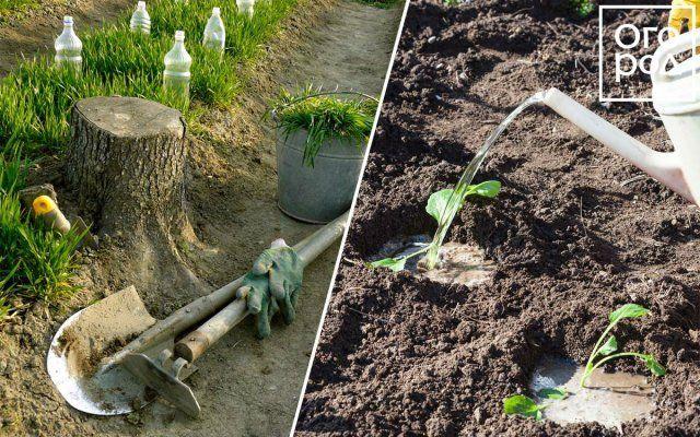 Коллаж - высадка капусты в грунт