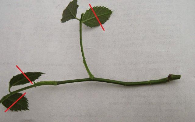 Обрезка листьев у черенка розы