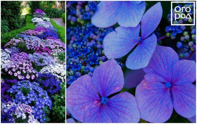 Вьющееся растение с синими цветками живокость шпорник