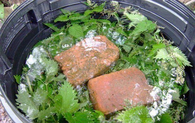 Настой крапивы в качестве удобрения