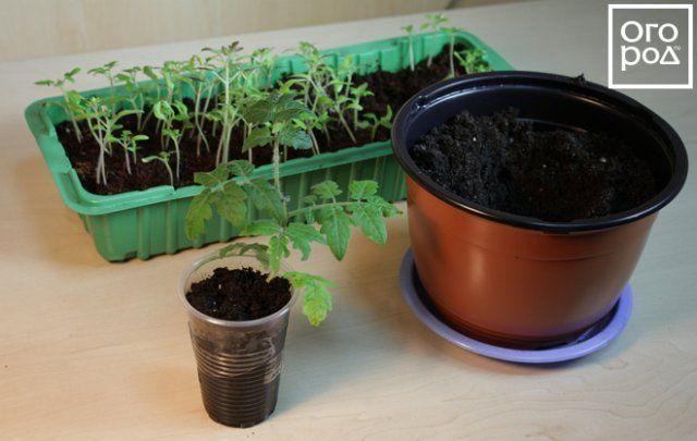 Пересадка помидора в просторную емкость