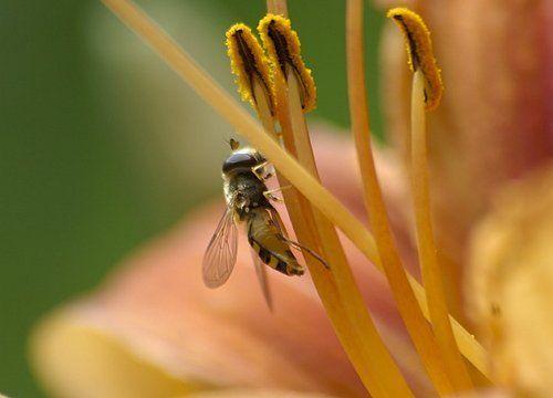 Лилейная муха