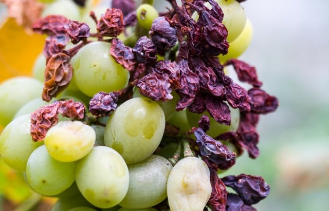 бактериоз на ягодах винограда