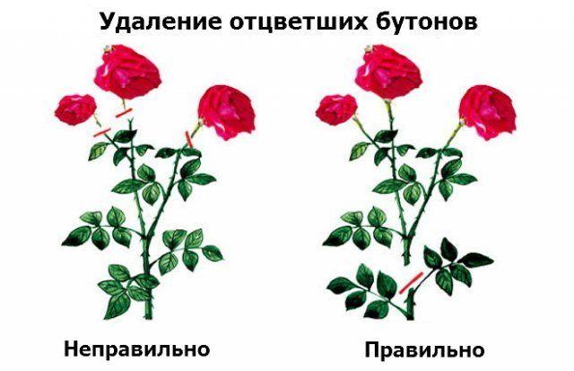 Удаление отцветших соцветий роз
