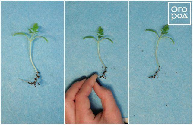 Прищипывание главного корня томата