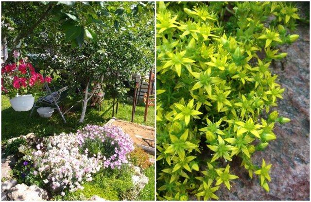 Растения для альпинария с фото