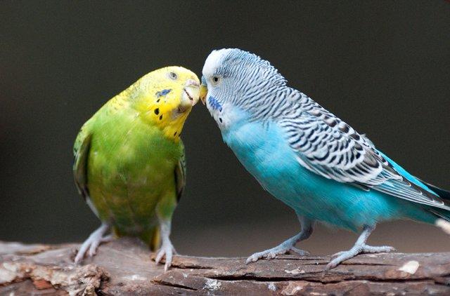говорящие попугаи волнистые