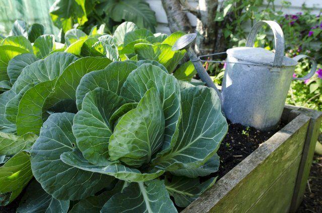 Cabbage grow in home vegetable garden./Капуста