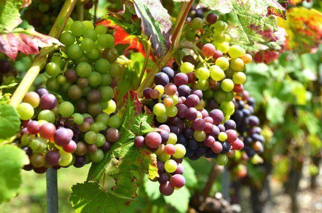 Недозревший виноград