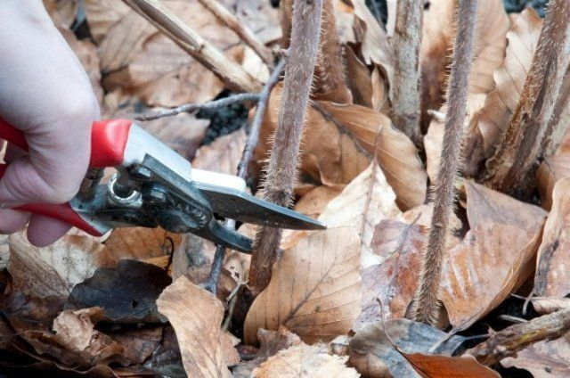 Обрезка малины осенью
