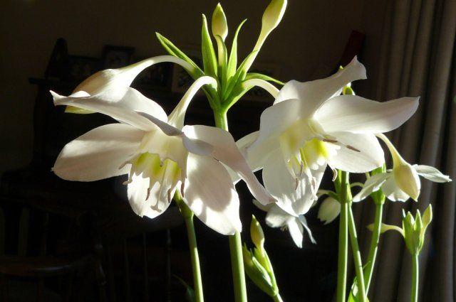 Эухарис, цветок, комнатное растение