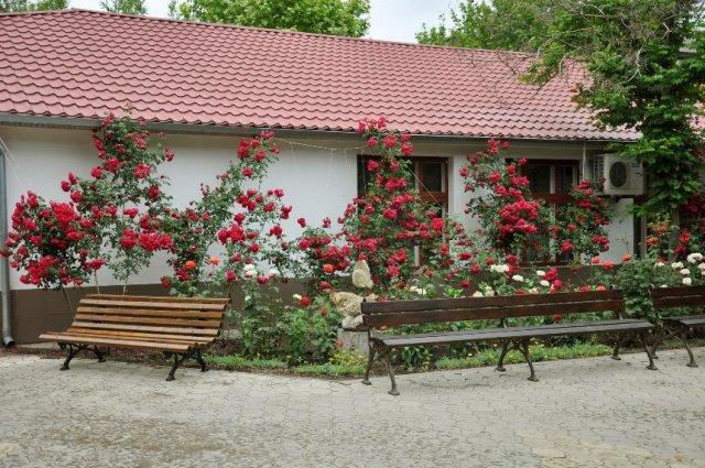 плетистые розы возле дома