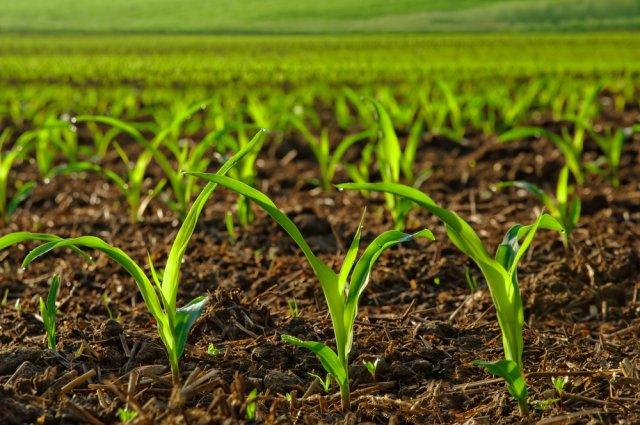 Посадка кукурузы семенами в открытый грунт (всходы)