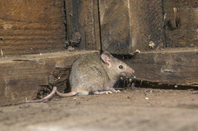 Защита дачного дома от грызунов