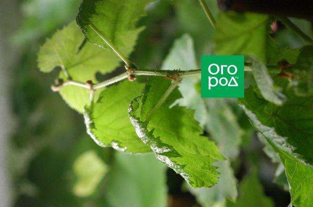Листья, принявшие форму зонтика – признак перелива. Фото Михаила Умнова