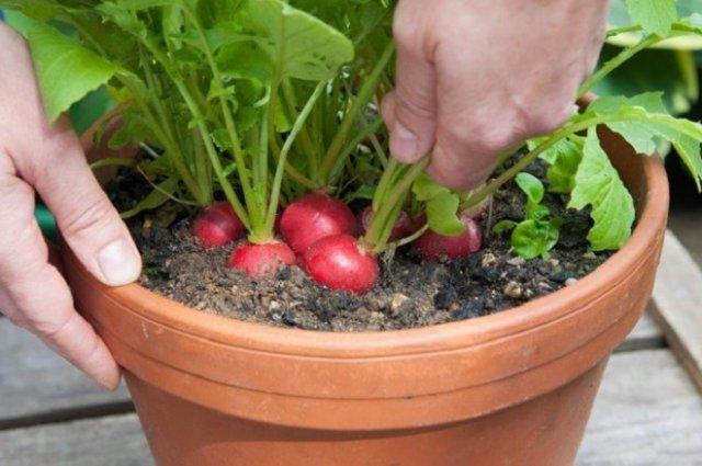 огород на балконе быстрый урожай