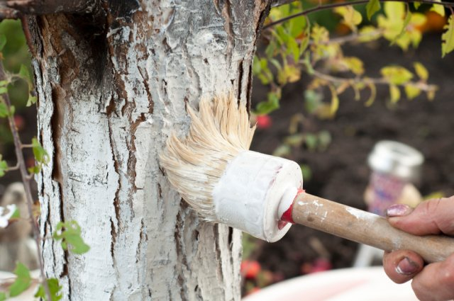 белить деревья известью