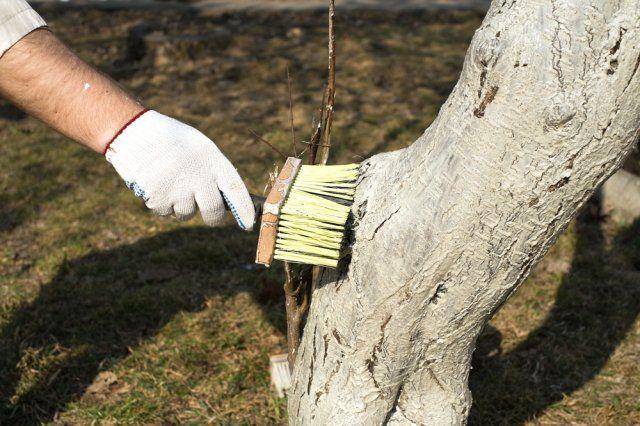 Побелка деревьев – важный элемент осеннего ухода за садом